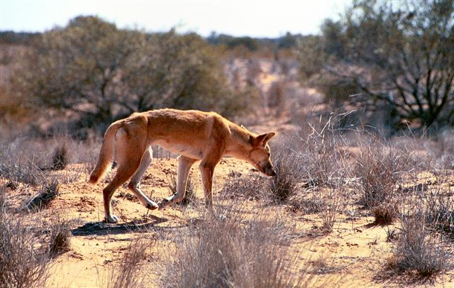 Australian Dingo in the desert