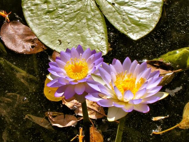 Water Lilly's, Lawn Hill Gorge, Gulf Savvanah, Australia