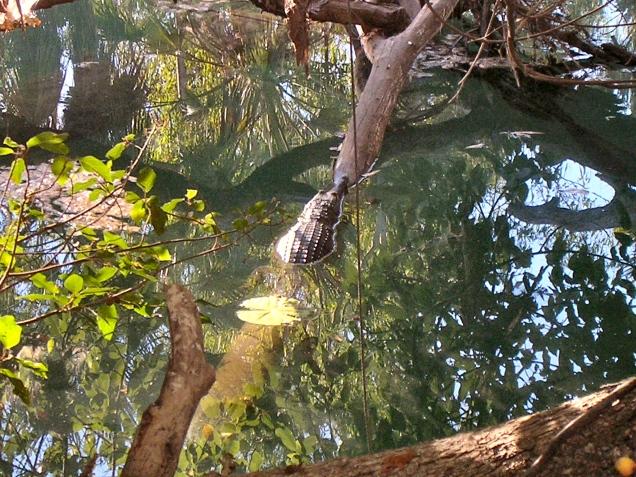 Australian Freshwater Crocodile, Lawn Hill Gorge