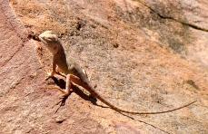 Ta-Ta Lizard