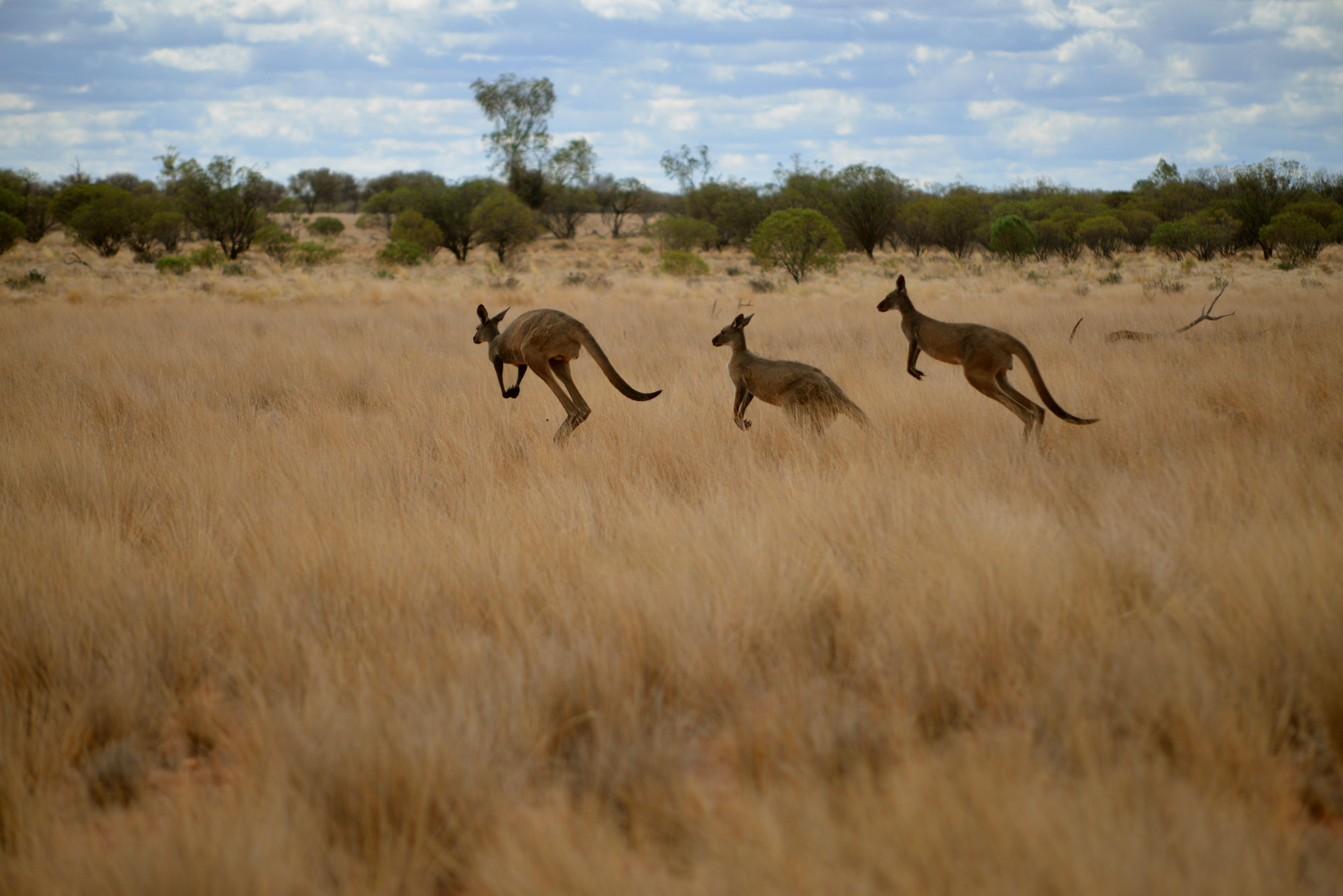 Kangaroos, Trilby Station, Outback Australia