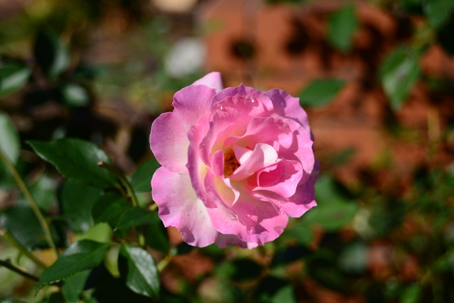 A Rose (As delicate as life itself)