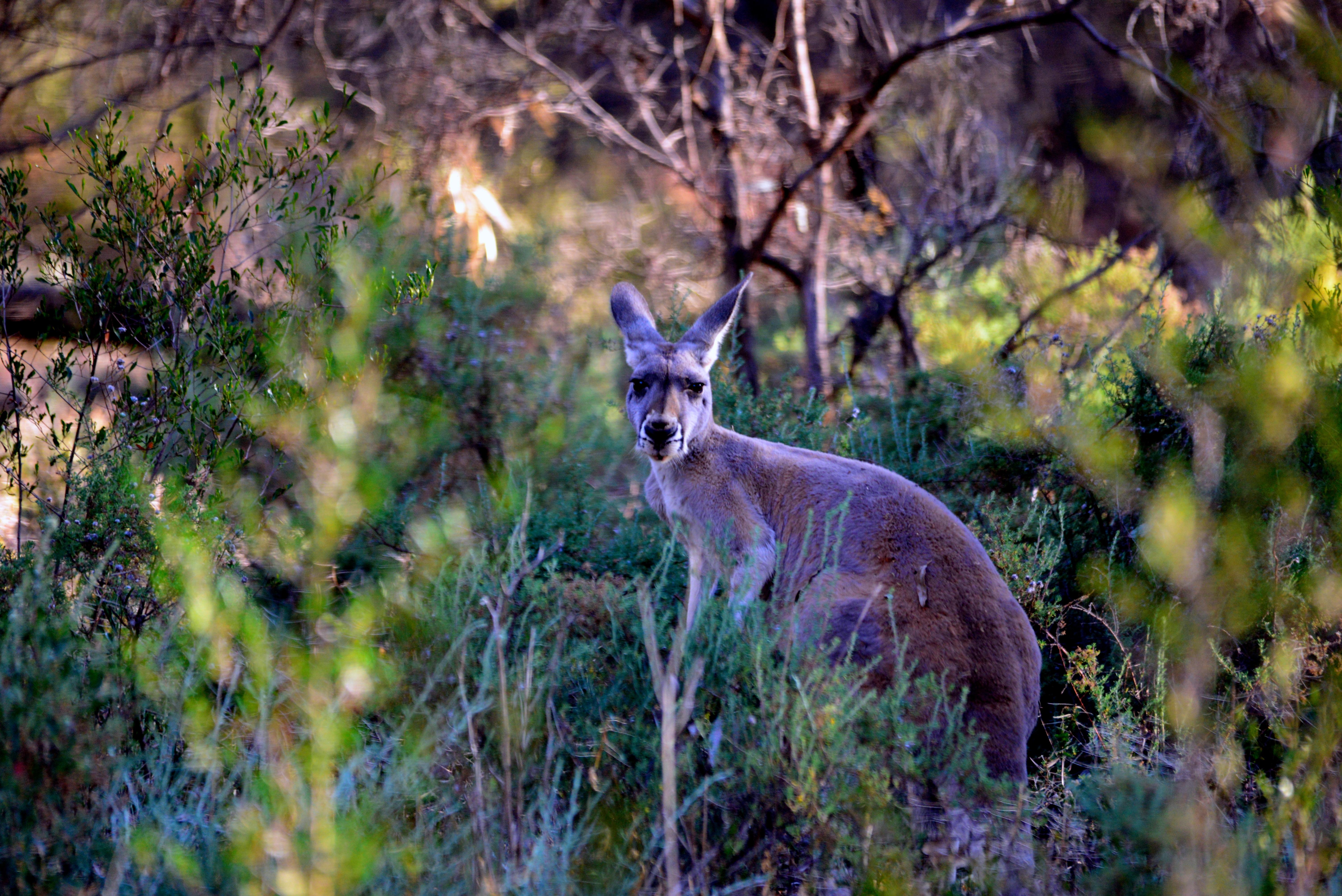 Kangaroo - Mutawintji NP