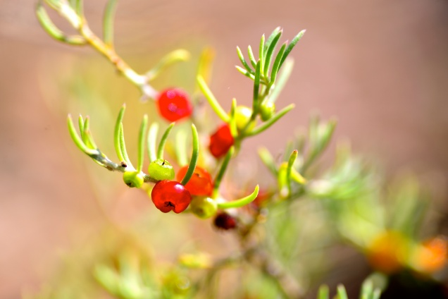 Saltbush Berries (Bush Tucker)