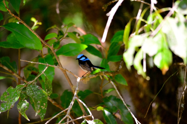 A Superb Fairy Wren (In the Australian Bush)