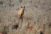 Dingo - Outback Australia