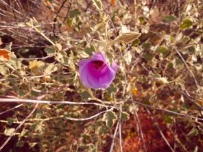 Desert Rose - Outback Australia