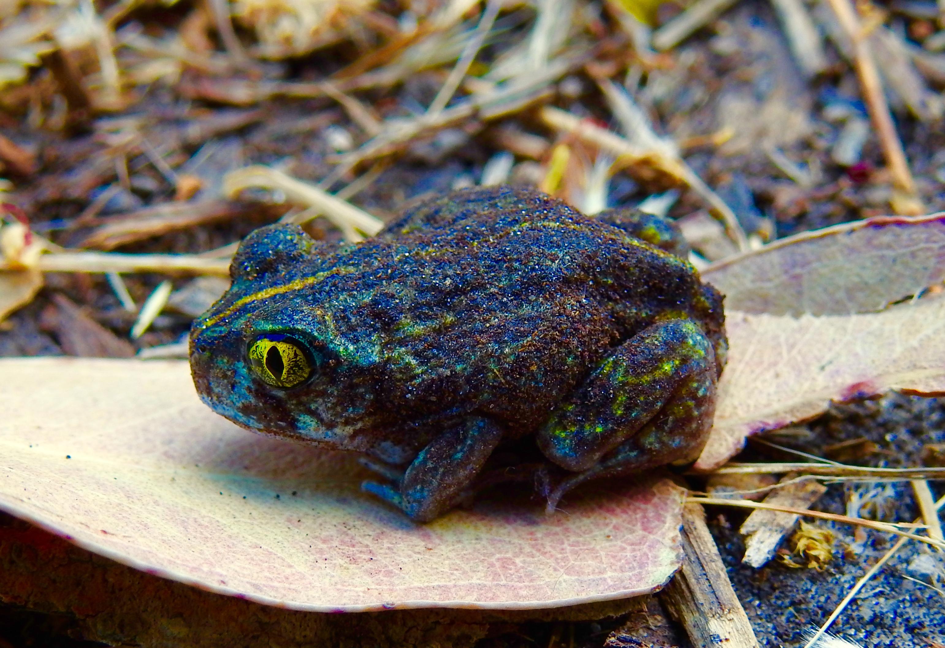 Frogs on Kangaroo Island