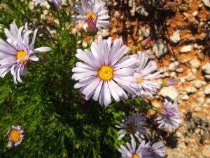 australian desert flower