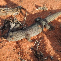 Land of Lizards - Outback Australia