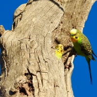 Budgerigars, at home in the Australian Bush...