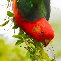 Australian Birds – The King Parrot